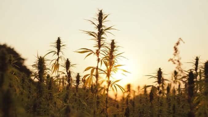 Hanfpflanze im Sonnenuntergang