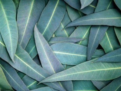 Nature Eucalyptus leaves background