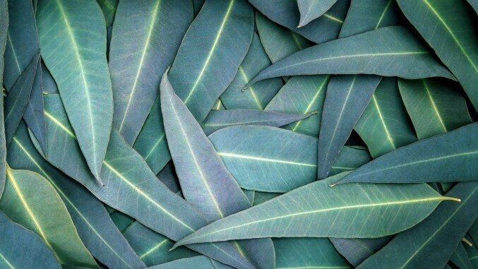 Nature Eucalyptus leaves background