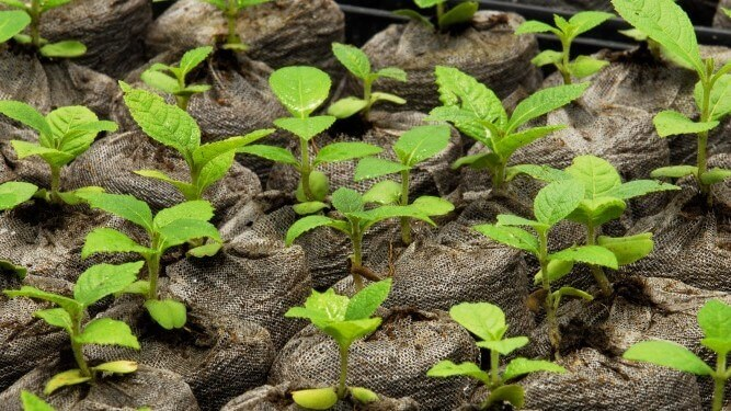 Teak plants growing in greenhouse, Darien plantation, Panamá, Central America