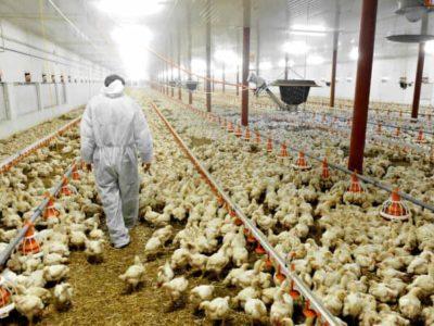 Geflügel Huhn Hühner Stall Tier
