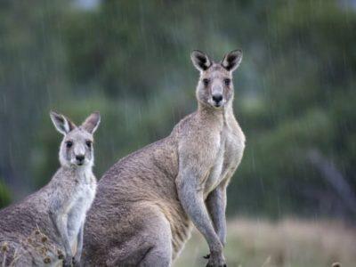 Känguru Australien Fleisch