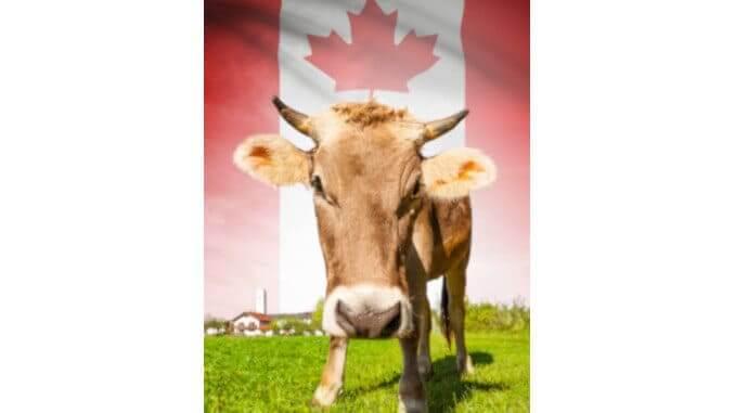 Kanada Milchkuh