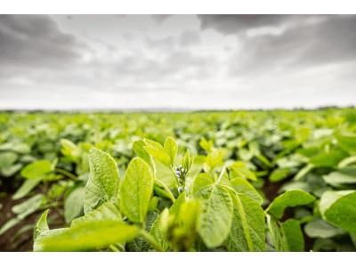 Sojabohnenblüte 2021: Ein Exot wird heimisch